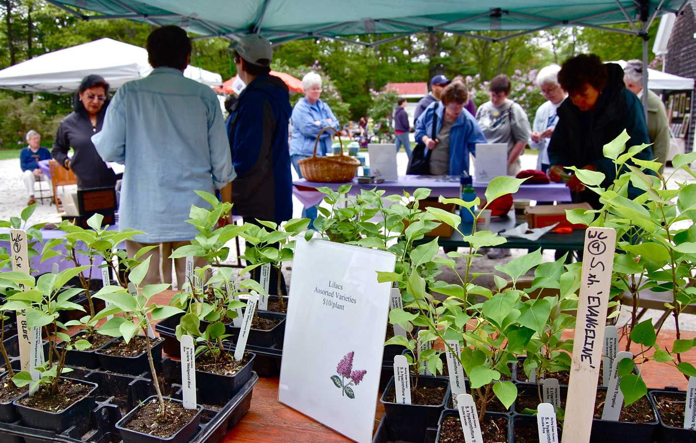 Lilac Festival 28